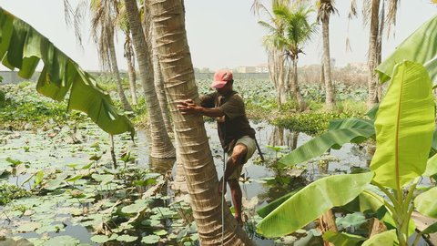 Coconut seller climbing a palm tree in a lotus pond to pick coconuts