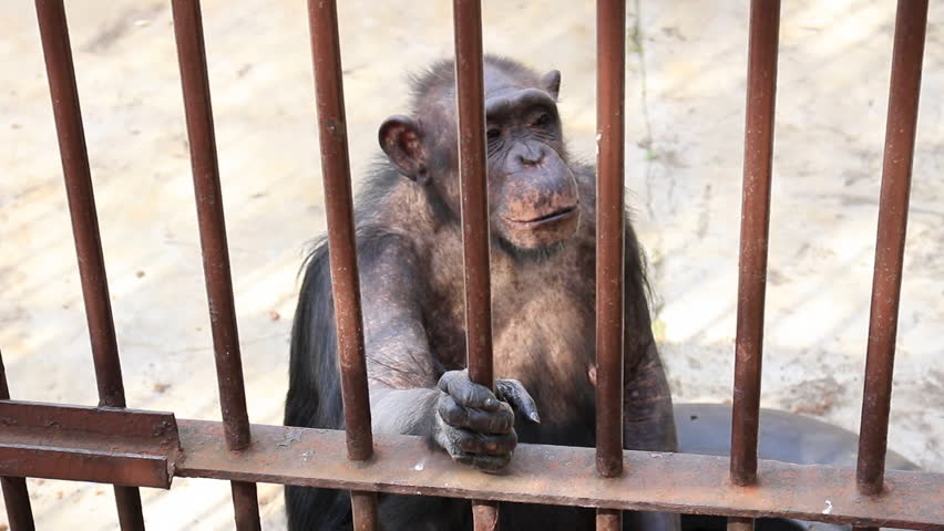 Old and sad monkey in the cage | Shutterstock HD Video #10055057