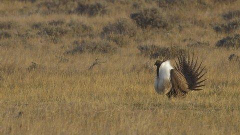Sage Grouse at sunrise plopping their neck sacks on lek on prairie displaying for mates P1000253