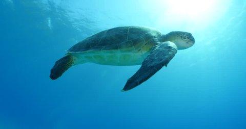 turtle swim underwater green turtle caretta