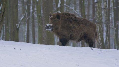 Wild boar (Sus scrofa) in winter forest