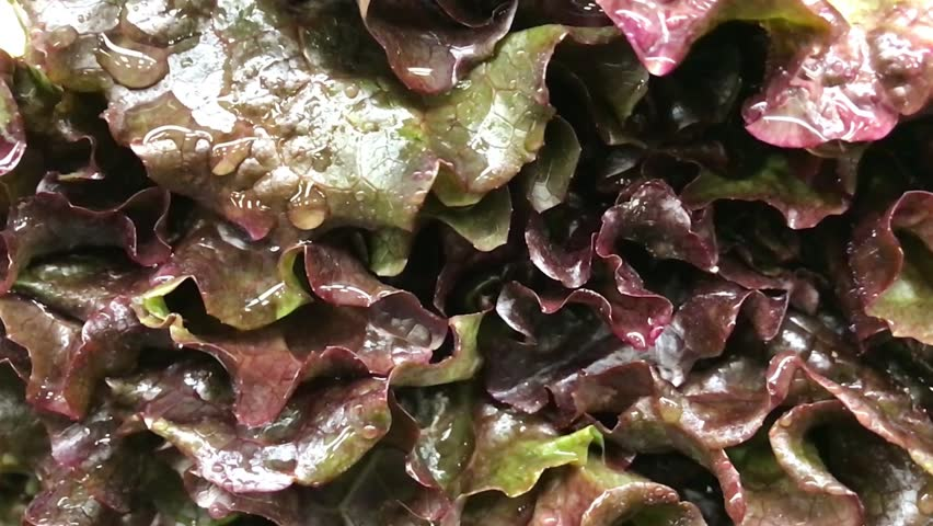 Red leaf lettuce_closeup with water dripping | Shutterstock HD Video #1006618417