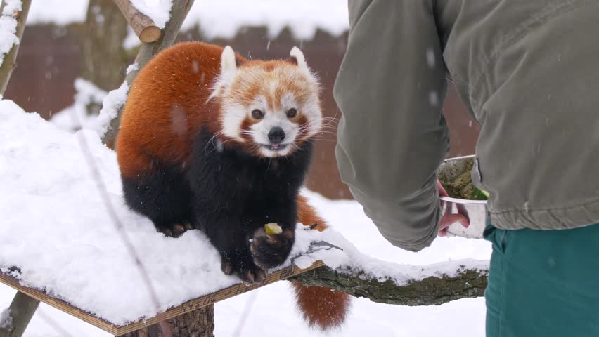 Red panda (Ailurus fulgens) being fed by a zookeeper