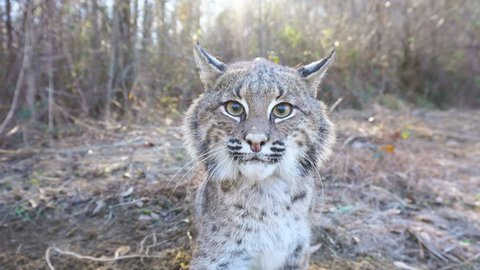 American Bobcat (Lynx rufus) hissing, growling, and attacks his own reflection in camera. January in Georgia.