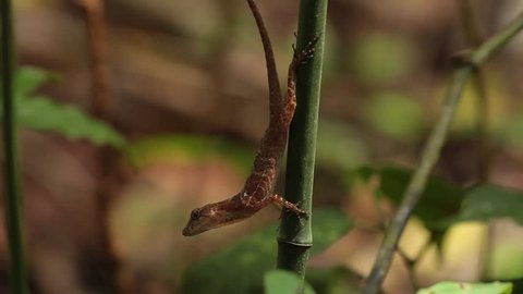 Anole on bamboo