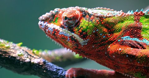Chameleon moving big eye while looking around and moving slowly on tree branch. Detailed close up view of colorful and vivid textured skin