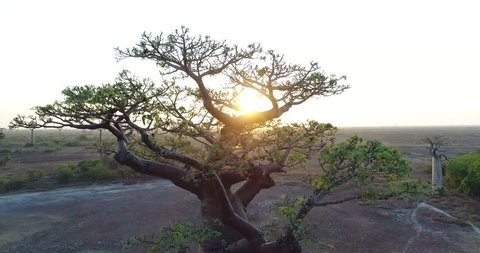 Beautiful Baobab tree in Madagascar, overhead aerial shot Sun Rays over the Beautiful Baobab Tree in Madagascar, overhead aerial shot