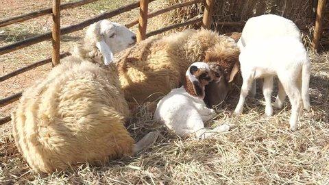 Sheep in natural grassland Farm Thailand