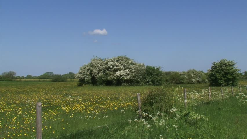 Old agricultural landscape, buttercups blooming in pasture, hawthorn hedgerows and cow parsley. IJSSEL river landscape, The Netherlands