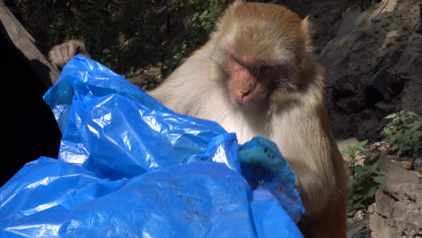 Rhesus macaque monkey looks under plastic sheet in dumpster for food
