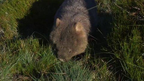 Common Wombat feeding on green grass on the mountain plains
