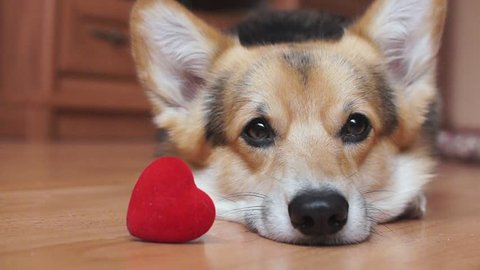 A lovely loving dog with a red heart congratulates Valentine's Day, All Lovers' Day.