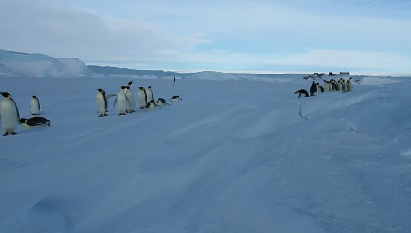 Emperor penguins(aptenodytes forsteri)carefully cross the crack in the sea ice of Davis sea