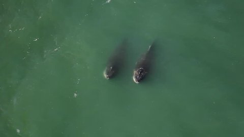 Rare aerial sight of two whales swimming synchronized in the San Francisco Bay