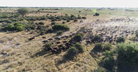 Aerial panning view of a large herd of Cape buffalo running across the Okavango Delta, Botswana