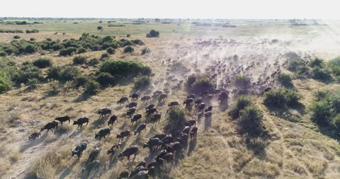 Aerial panning view of a large herd of Cape buffalo running across the Okavango Delta, Botswana