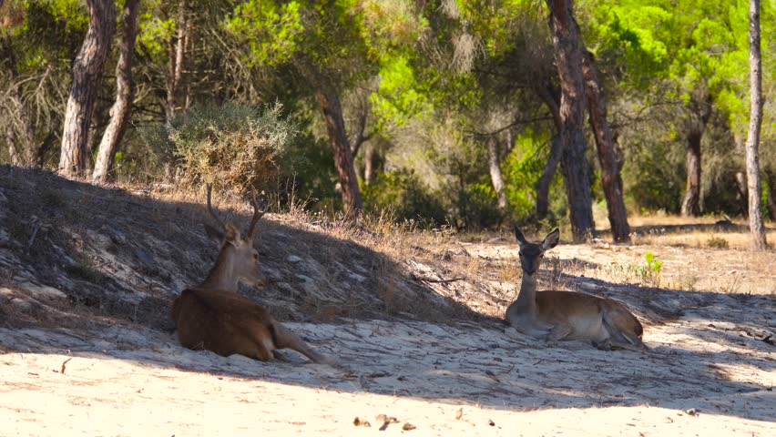 HD Slow motion. Couple of deer lying in the sand of the Doñana dunes. The two young deer spend the central hours of the day heat refugees in the shade of a pine