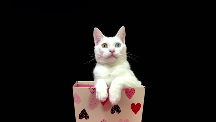 4K HD video of one Small white kitten with heterochromia (odd eyes), one yellow one blue, in a white valentine's box with hearts. Looking at viewer. black background
