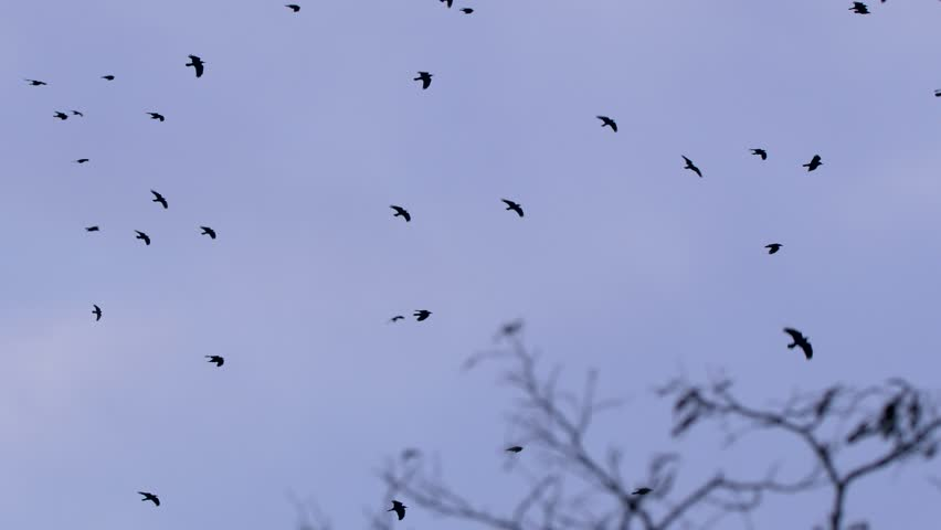 Flock of rooks in the evening | Shutterstock HD Video #1006996117
