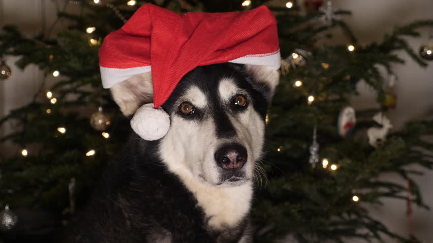 Husky dog with Santa Claus hat in front of Christmas tree.   Shutterstock HD Video #1007001337
