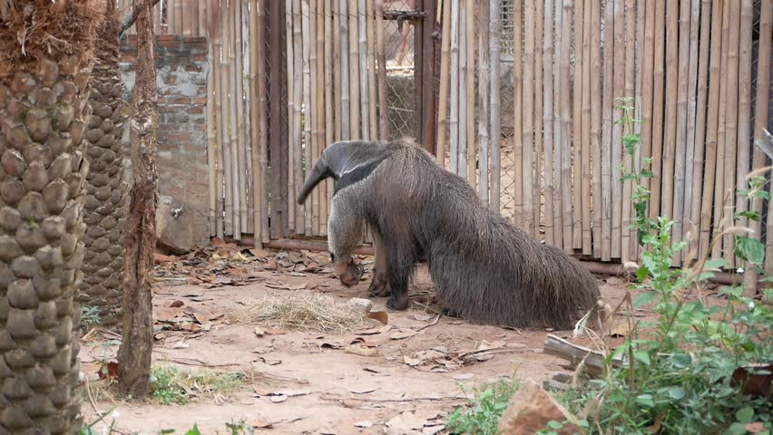 Giant anteater in the zoo