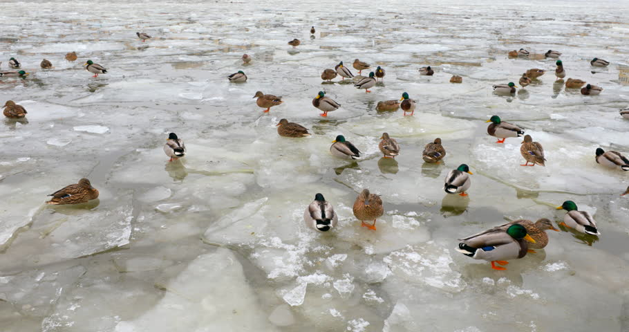 an analysis of ducks in winter For the purpose of caring and raising ducklings  but with proper caring for a duck and feedin sunday , 20 may 2018 in the winter season.