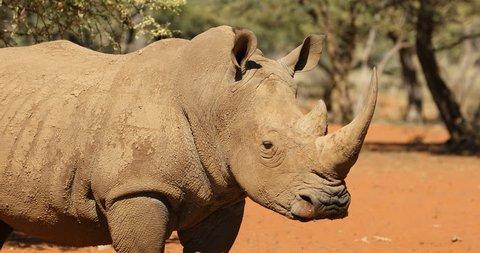 Close-up view of a white rhinoceros (Ceratotherium simum), South Africa