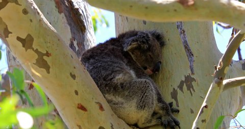 A cute koala, Phascolarctos cinereus, sleeping on eucalyptus branch's in Yanchep National Park, Western Australia. Yanchep has been home to a colony of koalas since 1938.