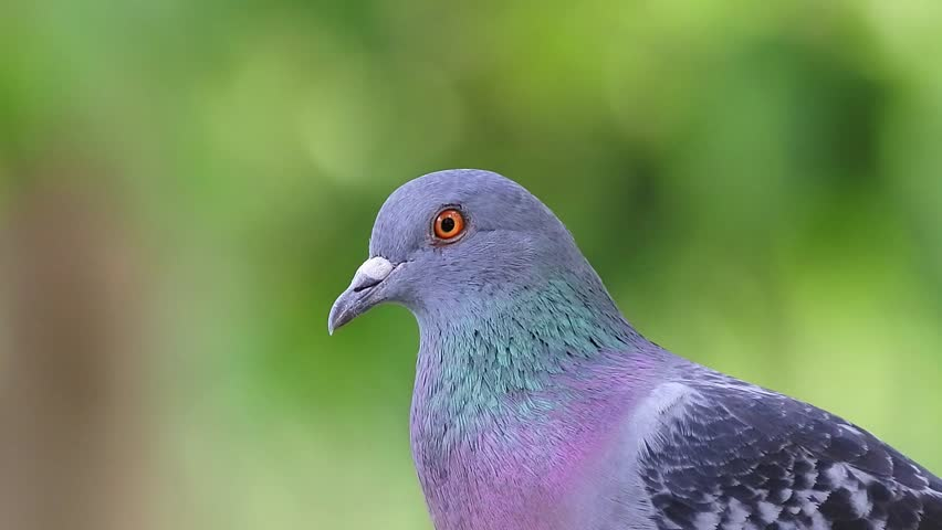 Close up of pigeon in the park  | Shutterstock HD Video #1007125537