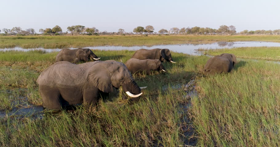 Aerial zoom out view of five elephants feeding in a river with tourist boat behind them in the Okavango Delta