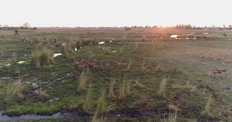 Aerial view of a lechwe antelope herd in the Okavango Delta with 4x4 safari vehicle in the background, Botswana