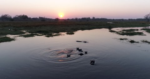 Silhouette sunset wide angle aerial view of a pod of hippos swimming in a river with a tourist 4x4 safari vehicle watching them in the Okavango Delta, Botswana