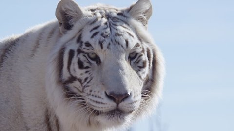 White tiger unhappy growls and walks away
