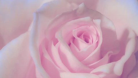 Timelapse,Close up of opening pink rose, blooming pink roses, beautiful animation, FULL HD
