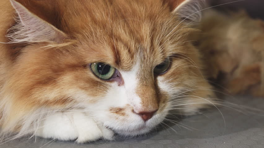 Close up of a gorgeous green eyed ginger cat | Shutterstock HD Video #1007338147