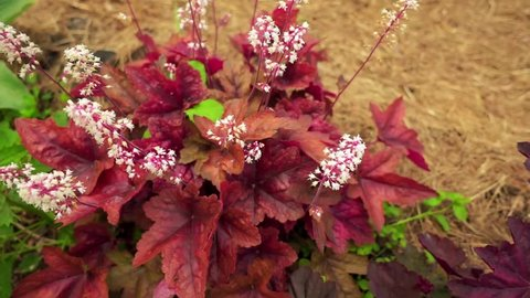 Heuchera villosa, hairy alumroot, is small evergreen perennial native to Eastern United States. It is found only on rock outcrops, growing on cliffs and boulders.