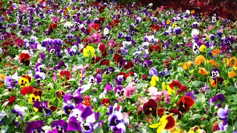 Flowerbed with many pansies (Viola tricolor) of different colour