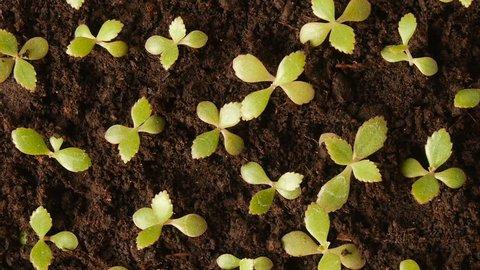 Watering seedlings of Kalanchoe.
