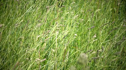 The strong wind inclines Timothy-grass (Phleum pratense) in field to summer sunny day