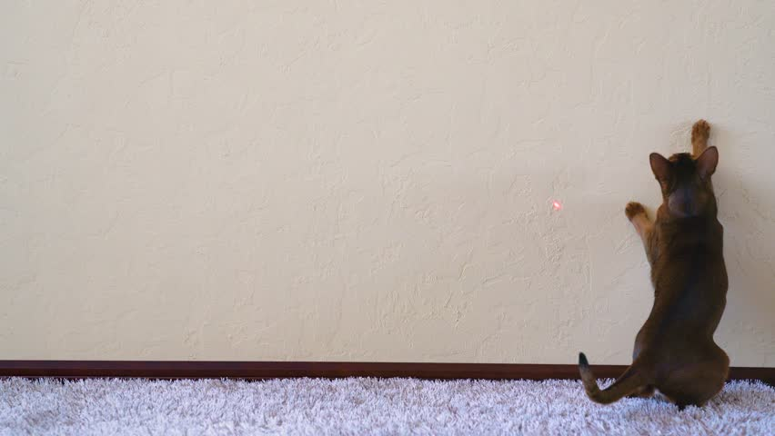 Funny abyssinian cat chasing red dot laser pointer on the wall. Master playing with cat
