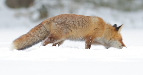 Red fox in white snow. Cold winter with orange fur fox. Hunting animal in snowy meadow, Germany Beautiful orange coat animal nature. Wildlife Europe. Detail close-up portrait of nice fox.