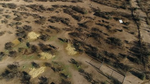 aerial zebras stampede and giraffe looks at drone