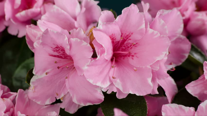 Pink Azalea Flower Blooming Time-Lapse Rododendron Flowering and Opening