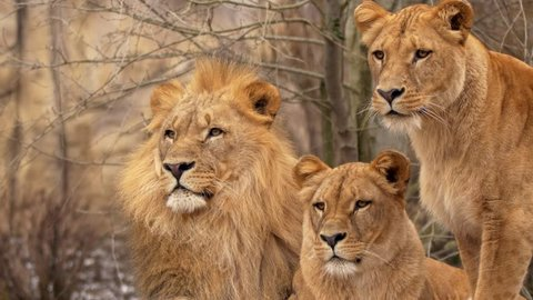 Southwest African lion family