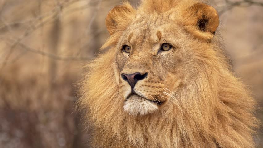 Southwest African lion gaze #1007742007