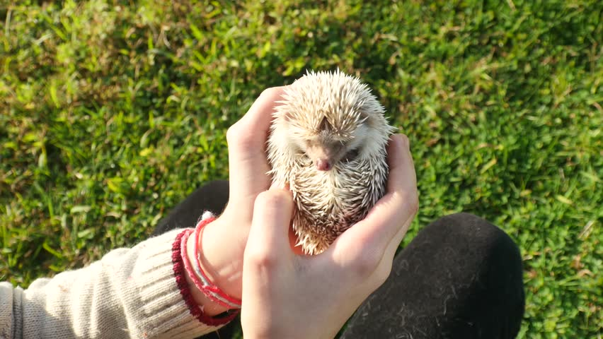 The girl holding a cute hedgehog and he is hiding.