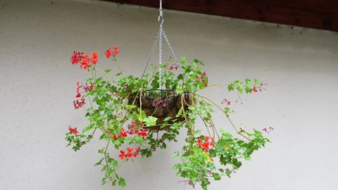 Geranium (Pelargonium) is botanical name of separate genus of related plants often called cranesbills. Both genera belong to family Geraniaceae.