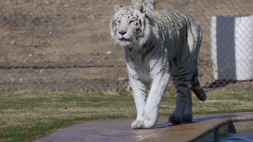 wet white tiger walking and dripping water from swim
