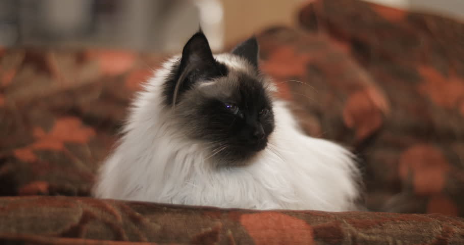 Light brown ragdoll cat relaxing on couch