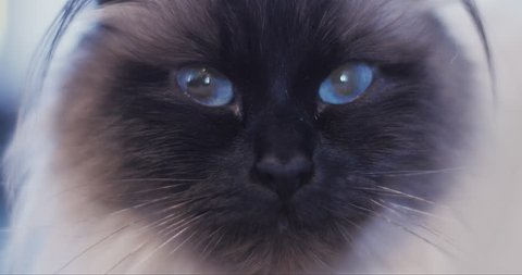 Extreme close up of beautiful ragdoll cat with big blue eyes